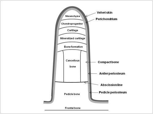Pedicle and Abscission Line