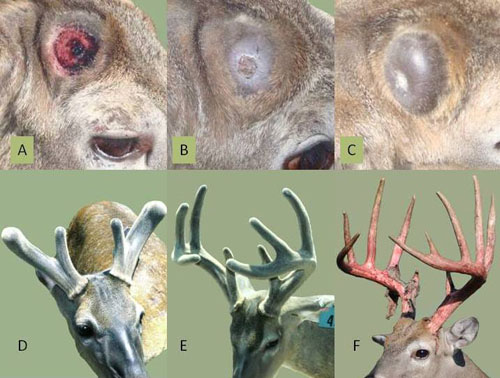 Stages of Antler Growth