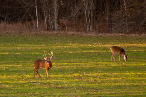 white-tailed deer grazing