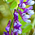 Vetch (Vicia spp.)