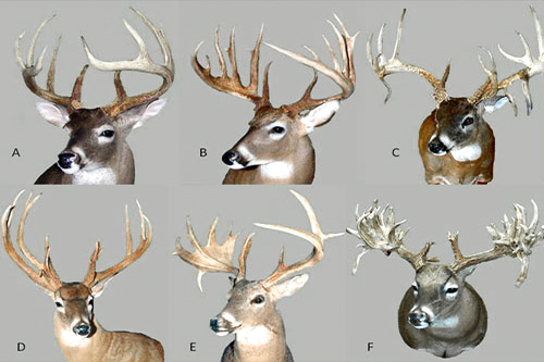 growth of antlers