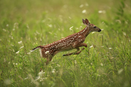 Fawn Escaping From Hiding Cover