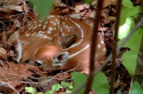 Fawn On Forest Floor
