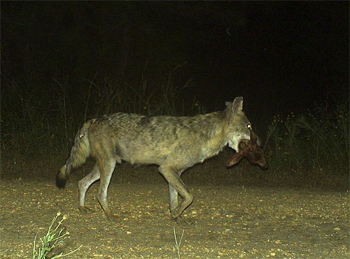 Coyote With Fawn